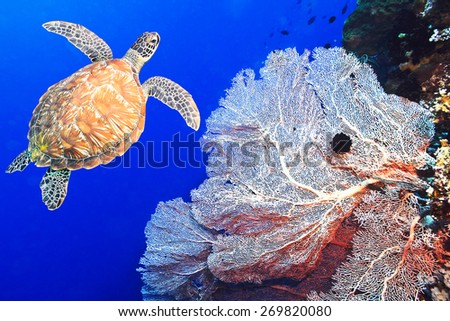 Turtle swimming underwater among the gorgonian coral - stock photo