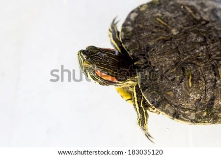 Turtle terrapin on water - stock photo