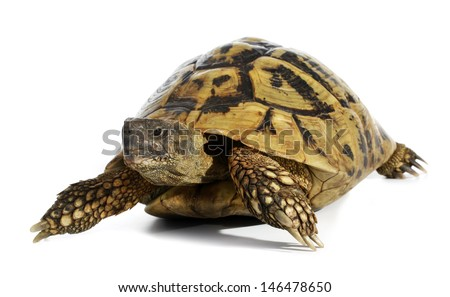 Turtle Testudo hermanni tortoise - stock photo