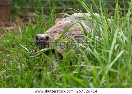 Turtle / Turtle walking on the grass - stock photo