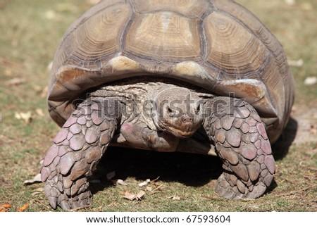 turtle walk - stock photo