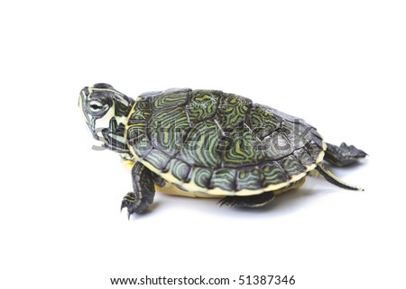 Turtle walking in front of a white background - stock photo