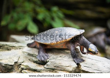 Turtle walking slowly across the field - stock photo