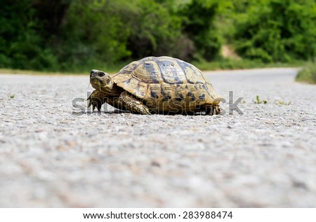 Turtle with grass in the mouth crossing an asphalt road. Bulgaria.