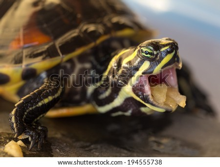 Turtle with mouth open, eating apple, closeup - stock photo