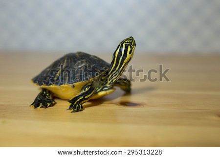 Turtle with neck extended walking across the image on wooden table - stock photo