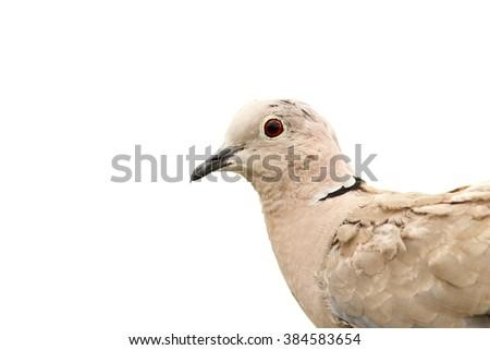 turtledove portrait isolated over white background ( Streptopelia decaocto ) - stock photo