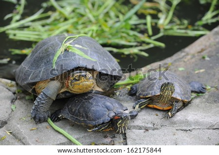 Turtles family - stock photo