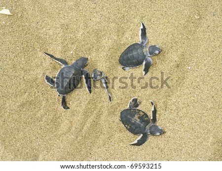 turtles give birth and get  out from sand - stock photo