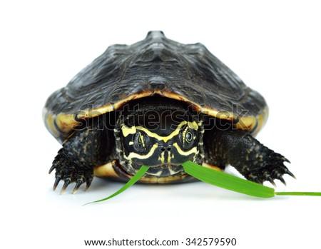 Turtles graze on a white background. - stock photo
