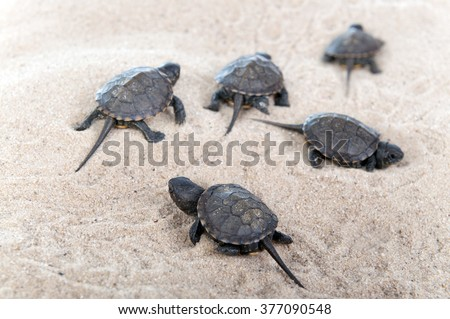 Turtles hatched from eggs in the sand. - stock photo