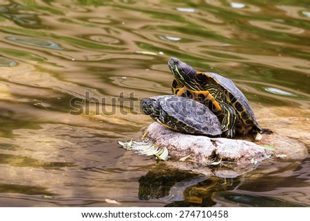 Turtles making love in the lake - stock photo