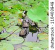 Turtles on a log in a lotus pond. - stock photo