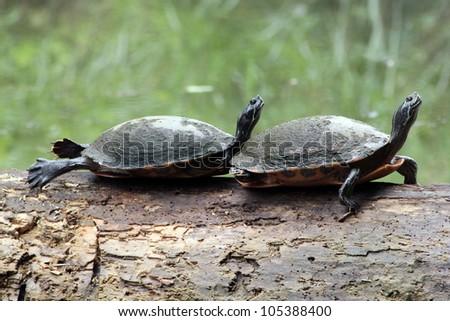 Turtles Sunbathing on a Log - stock photo