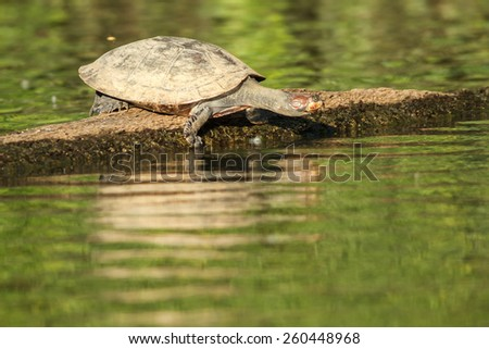Turttle in amazon - stock photo