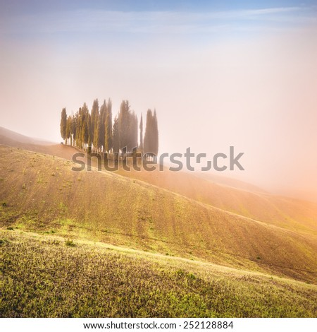 Tuscan cypress trees on the fields in a fantastic light of the rising sun. - stock photo