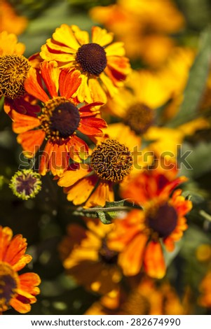 Tuscany sunflowers  - stock photo