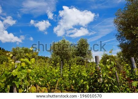 Tuscany vineyards - stock photo