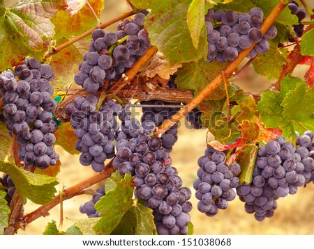 Tuscany Wine Grapes on the Vine ready for Harvest                                - stock photo