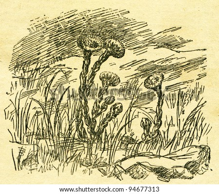 """Tussilago farfara, commonly known as Coltsfoot - an illustration from the book """"In the wake of Robinson Crusoe"""", Moscow, USSR, 1946. Artist Petr Pastukhov - stock photo"""