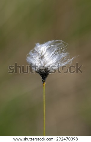 Tussock cottongrass - stock photo