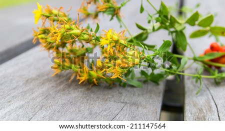 Tutsan calycinum, just from the meadow. - stock photo