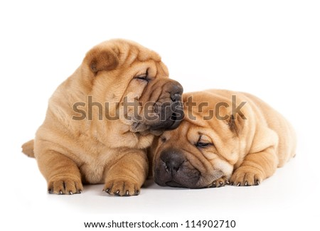 Tvo beautiful sharpei puppies - stock photo