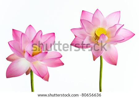 Twain pink water lily flower (lotus) and white background. The lotus flower (water lily) is national flower for India. Lotus flower is a important symbol in Asian culture. - stock photo