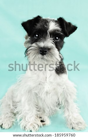 Twelve week old parti-colored Mini Schnauzer against a blue background. Extreme shallow depth of field with selective focus on puppies eyes. - stock photo
