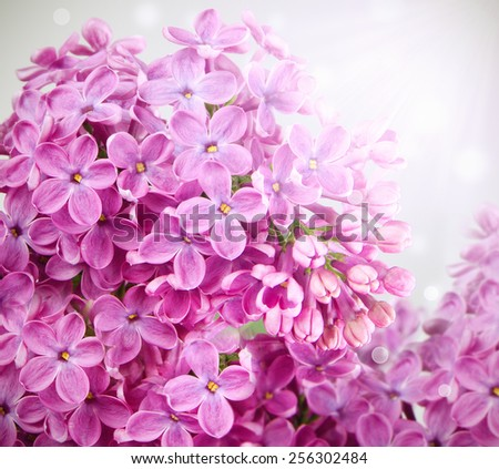 twig blossoming lilac with glare in the right corner - stock photo