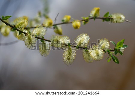 Twig blossoming willow macro - stock photo