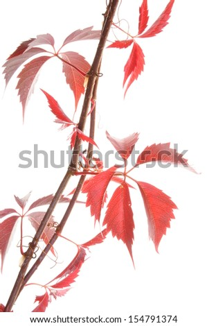 Twig ivy vine isolated on white background - stock photo