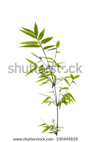 Twig leaves of bamboo tree in spring - stock photo