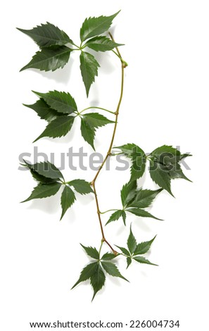 Twig of a climbing plant - stock photo