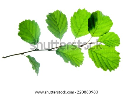 Twig of alder with large green leaves isolated on white    - stock photo