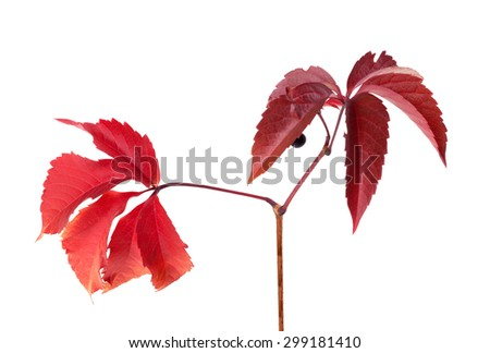 Twig of autumn grapes leaves. Parthenocissus quinquefolia foliage. Isolated on white background. - stock photo