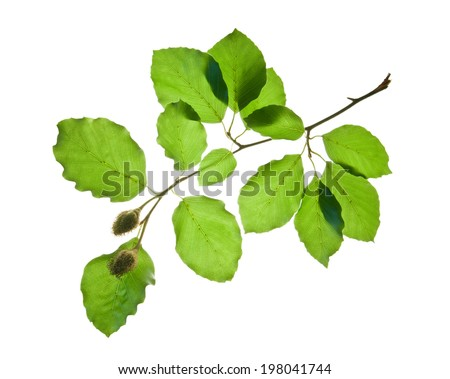 Twig of beech tree with green leaves and beechnuts isolated on white background  - stock photo