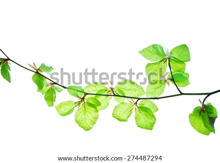 Twig of beech tree with translucent young leaves isolated on white 