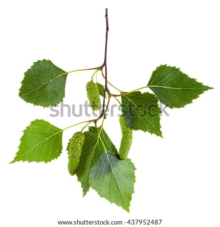 twig of birch tree (Betula pendula, silver birch ,warty birch, European white birch) with green leaves and catkins isolated on white background
