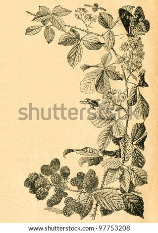 Twig of blackberry with flowers and fruits - old illustration by unknown artist from Botanika Szkolna na Klasy Nizsze, author Jozef Rostafinski, published by W.L. Anczyc, Krakow and Warsaw, 1911 - stock photo