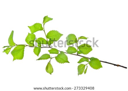 Twig of elm with young leaves isolated on white