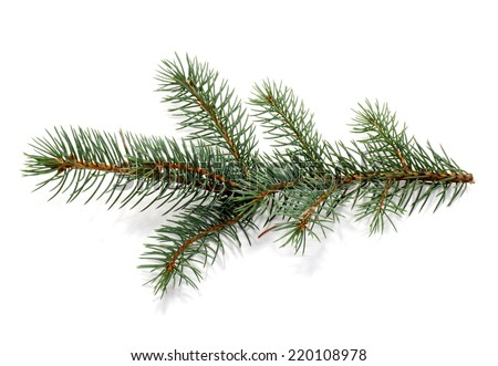 Twig of evergreen fir on white. fur-tree branch. - stock photo