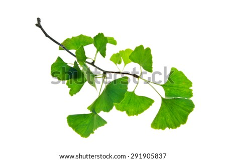 Twig of ginkgo biloba tree with green leaves isolated on white