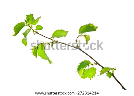 Twig of hazel with young leaves isolated on white