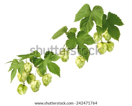 twig of hop on white background - stock photo