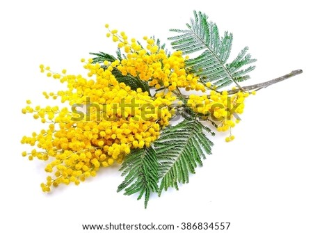 Twig of mimosa flowers isolated on white