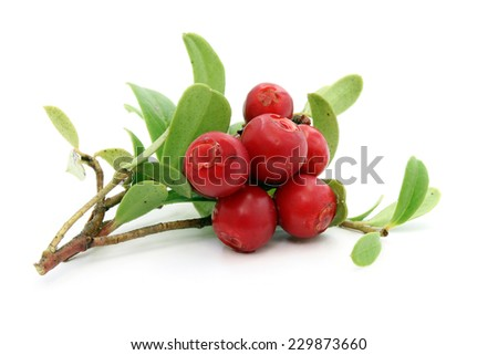 Twig of ripe cowberry on white background