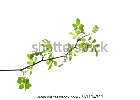 Twig of rose bush with young leaves isolated on white  - stock photo