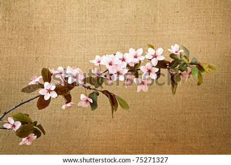 twig of sakura on jute background