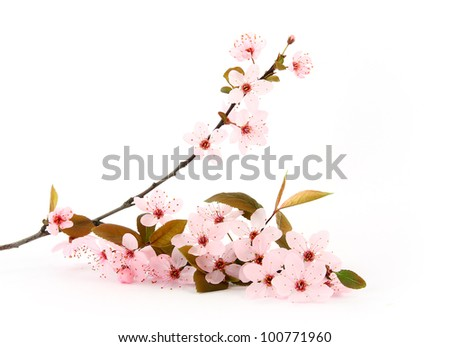 twig of sakura on white background - stock photo